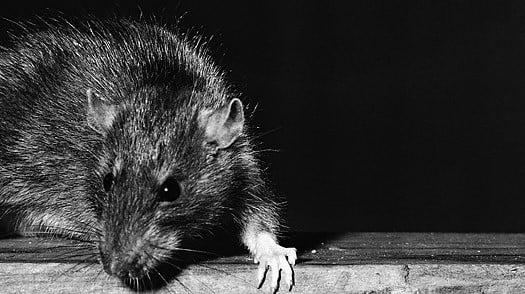 putin i krysy photo big Путин и «крысы»