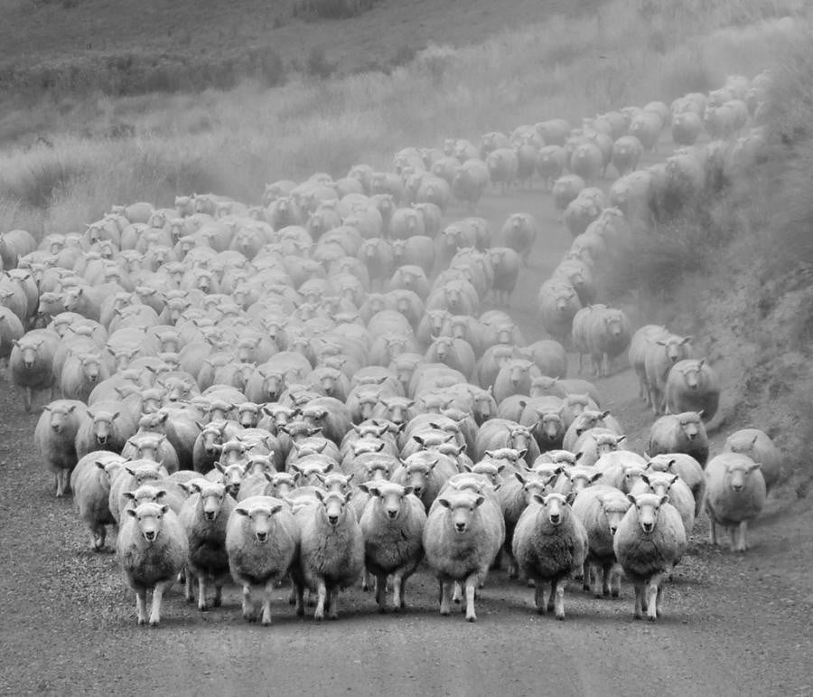 The tale of sheep